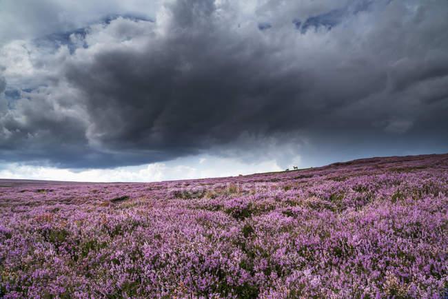 Fiori rosa che sbocciano nel campo — Foto stock