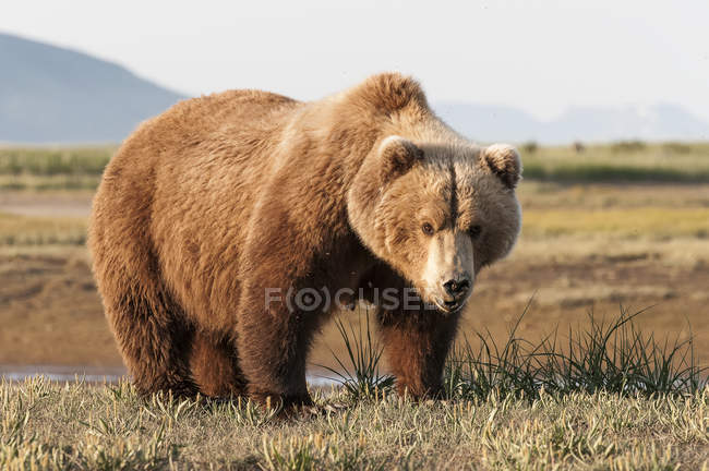 Female brown bear — Stock Photo