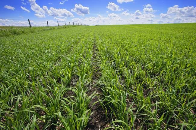 Поля зеленого урожая — стоковое фото