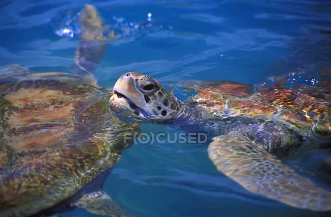 Hawksbill Sea Turtle — стоковое фото