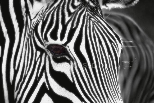 Зебра з чорно-білими смугами — стокове фото