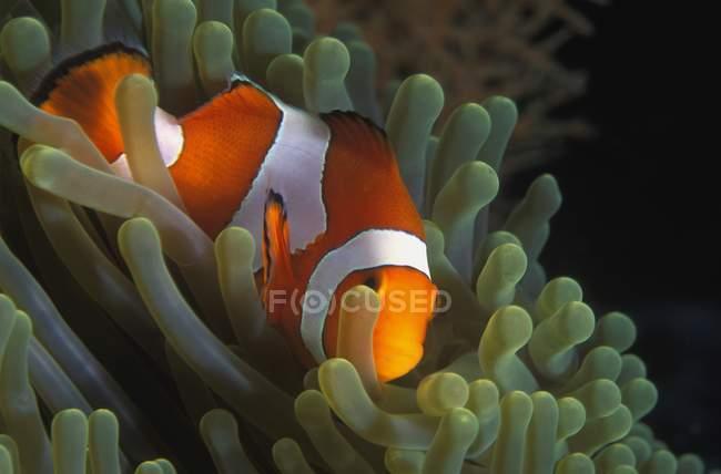 Скрытие рыба-клоун — стоковое фото