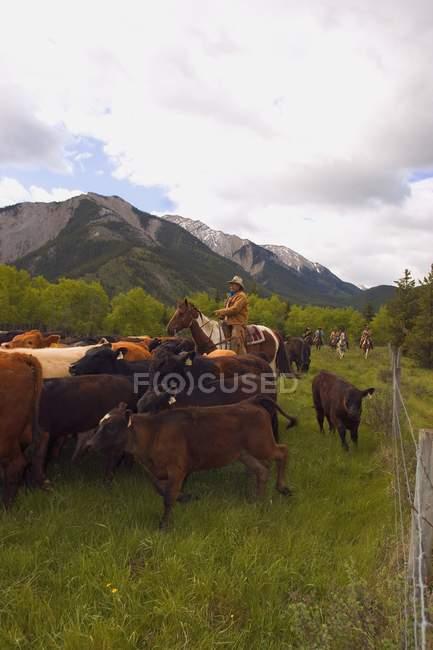 Bovins élevage éleveur — Photo de stock