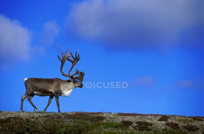 Caribou caminando en la cresta de la colina - foto de stock