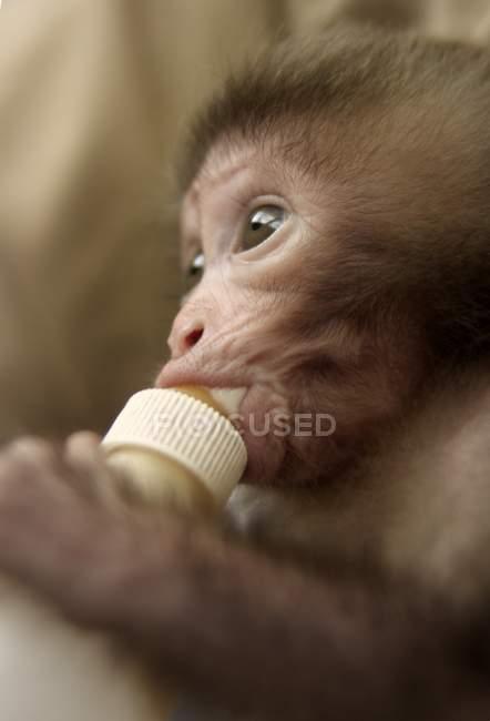 Boissons de bébé singe de bouteille — Photo de stock
