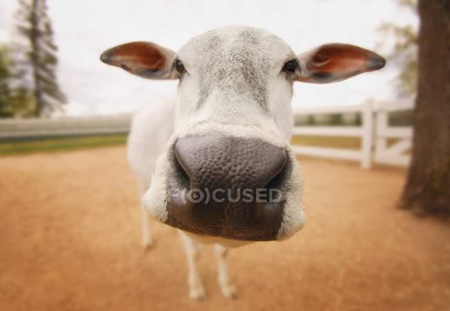 Vache debout sur le sol — Photo de stock
