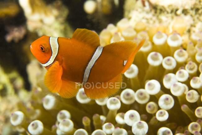 Рыбы-клоуны — стоковое фото