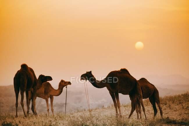 Camellos de pie uno contra el otro - foto de stock