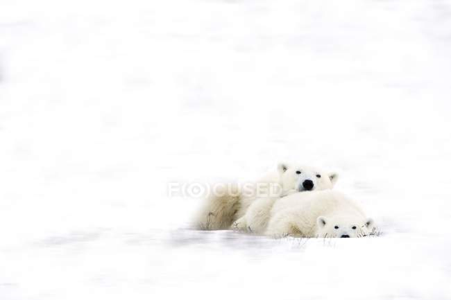 Два полярных медведя обнимаются — стоковое фото