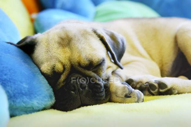 Sleeping Puppy on pillows — Stock Photo