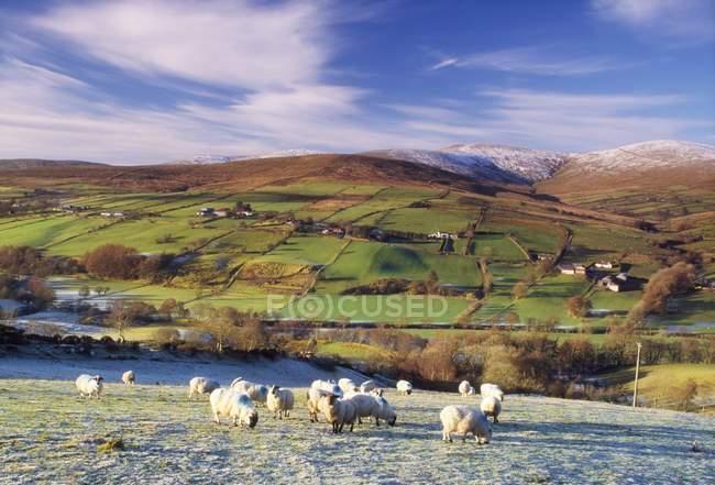 Ovelhas pastando em pastos — Fotografia de Stock