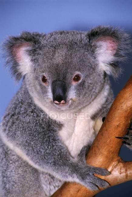 Koala su ramo di albero — Foto stock