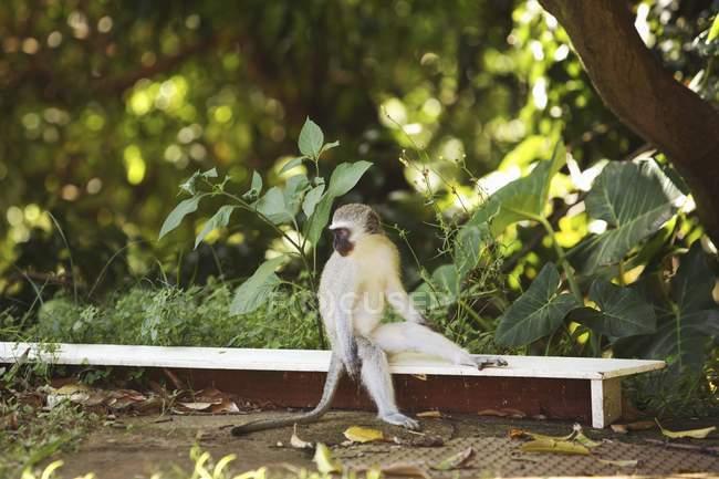 Macaco sentado no banco — Fotografia de Stock
