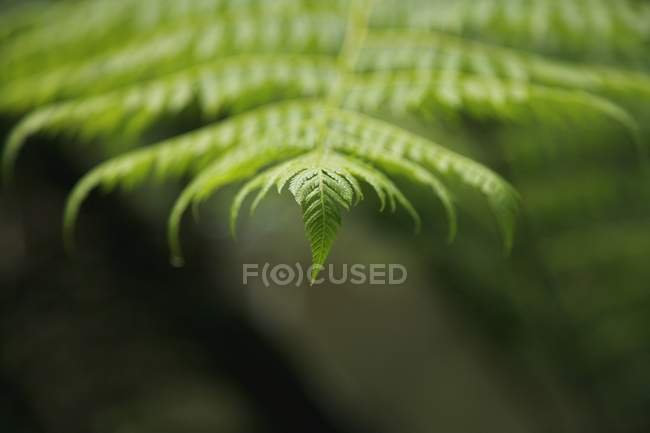 Closeup Of Tip Of Fern Leaf — Stock Photo