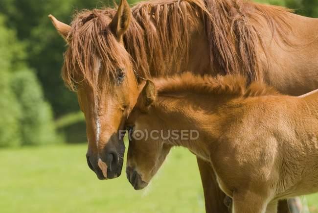 Égua e potro em pastos — Fotografia de Stock