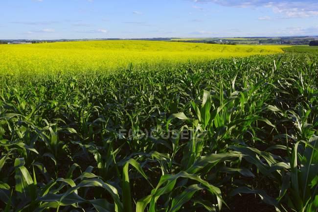 Campo de maíz y hierba verde - foto de stock