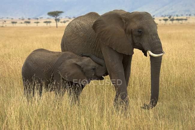 Elephants In The Masai Mara — Stock Photo