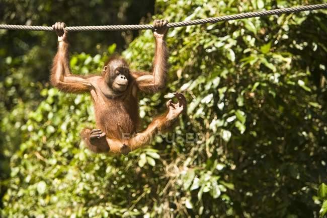 Juvenile Orangutan Hanging — Stock Photo