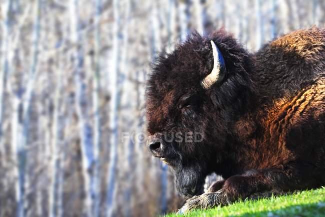 Bison liegenden grünen Rasen — Stockfoto