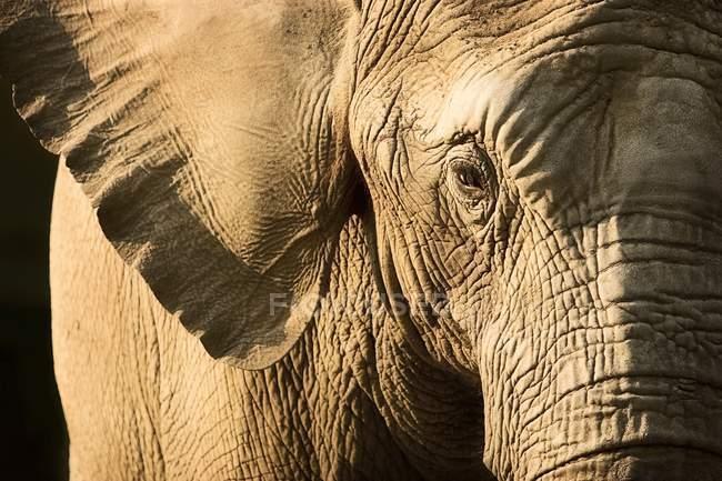 Elephant Face Closeup — Stock Photo