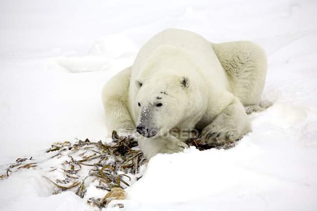 Polar Bear Resting — Stock Photo