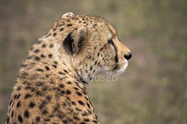 Cheetah en el parque nacional, namibia - foto de stock
