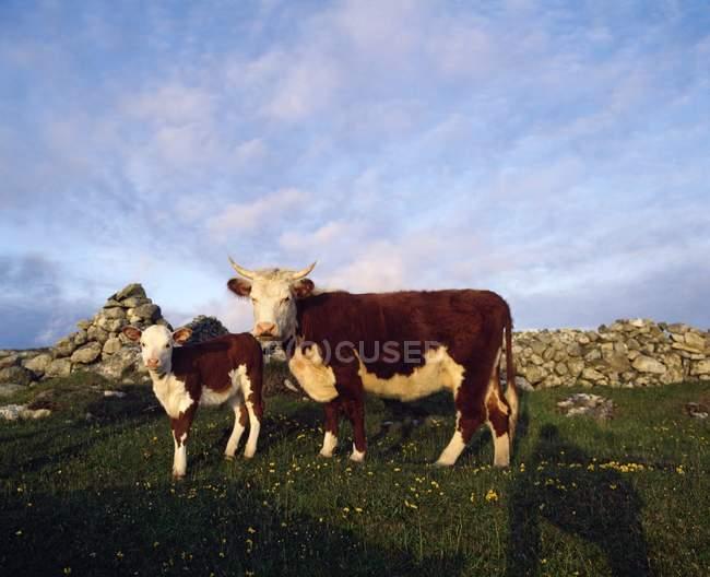 Корови і теля на травою поле — стокове фото