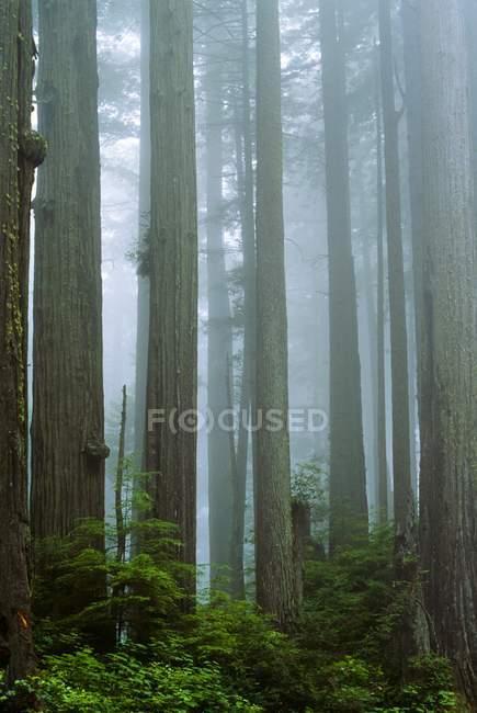 Jedediah Smith Redwoods parques estatales — Stock Photo
