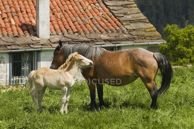 Mare And Foal In Pastures — Stock Photo