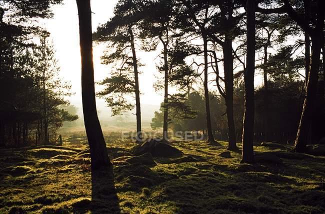 Silhouette des arbres dans la forêt — Photo de stock