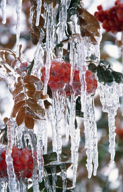 Осенние листья покрыты льдом — стоковое фото