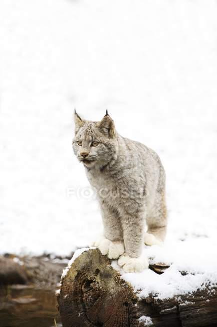 Канадський Lynx на вхід — стокове фото