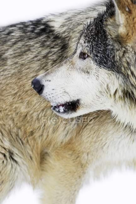 Волк, глядя назад — стоковое фото