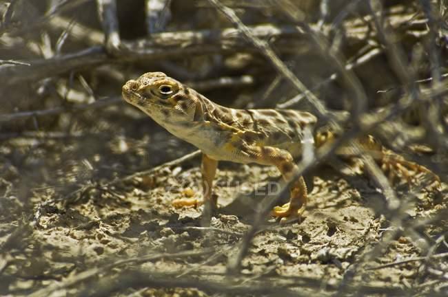 Lagarto de leopardo de nariz Roma - foto de stock