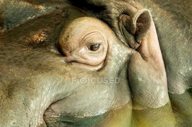 Бегемот голову у воді — стокове фото