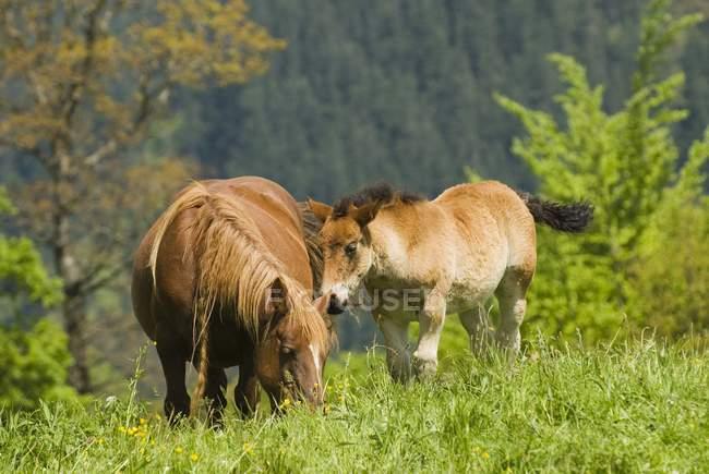 Égua e potro em alta montanha — Fotografia de Stock