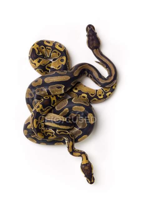 Два шарика Python змей — стоковое фото