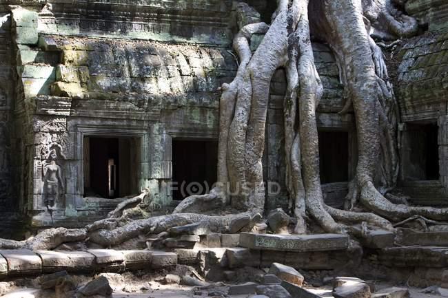 Radici dell'albero che ricoprono rovine del tempio — Foto stock