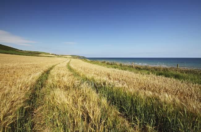 Campo de trigo na Cortiça Oriental na região de Munster — Fotografia de Stock