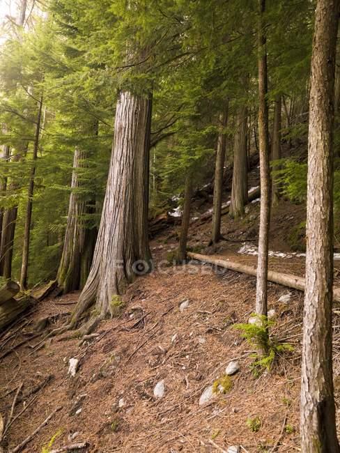 Кедрового лісу, Вістлері, Британська Колумбія — стокове фото