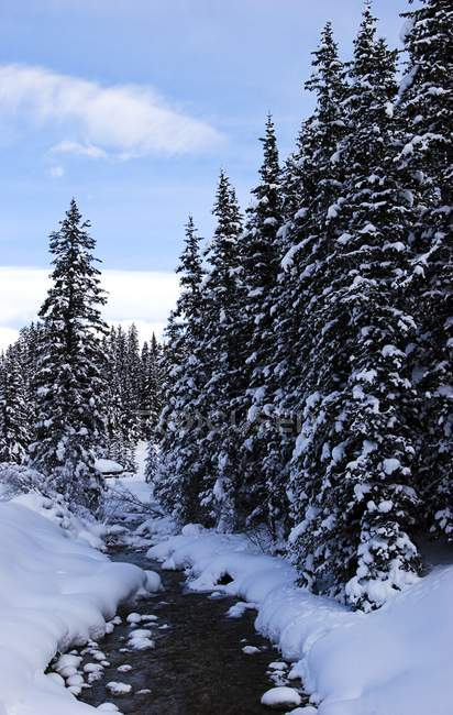 Forest In Snow, Lake Louise — Stock Photo