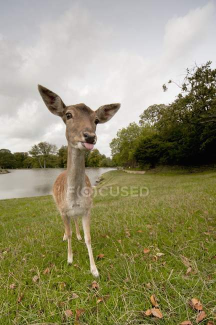 Deer Sticking Tongue Out — Stock Photo
