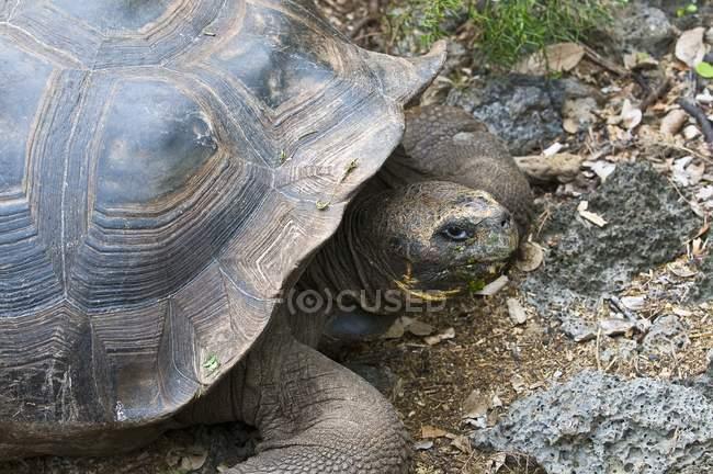 Черепаха землі на скелястий берег — стокове фото