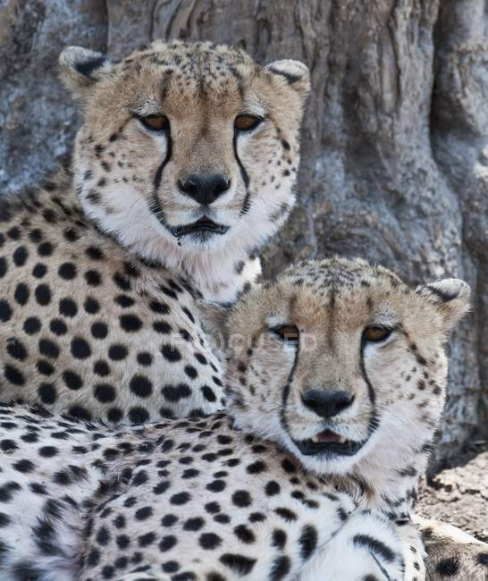 Ghepardi sotto l'albero — Foto stock