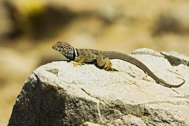 Великий басейн комір ящірка — стокове фото