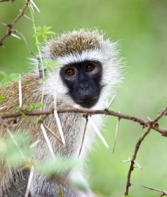 Vervet Monkey sitting on tree — Stock Photo