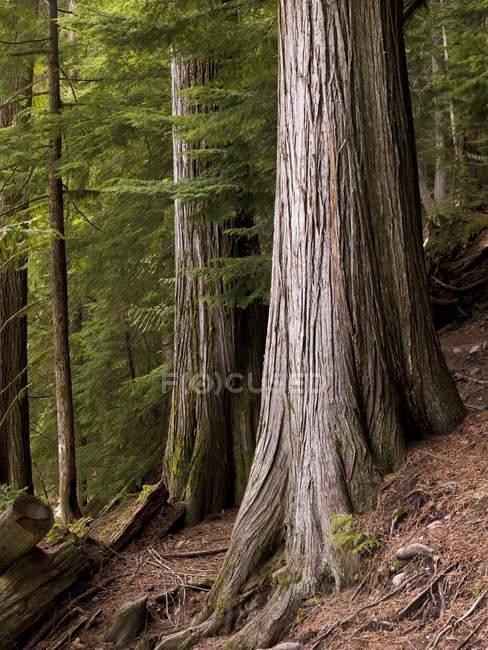 Кедрових дерев, Вістлері, Британська Колумбія — стокове фото