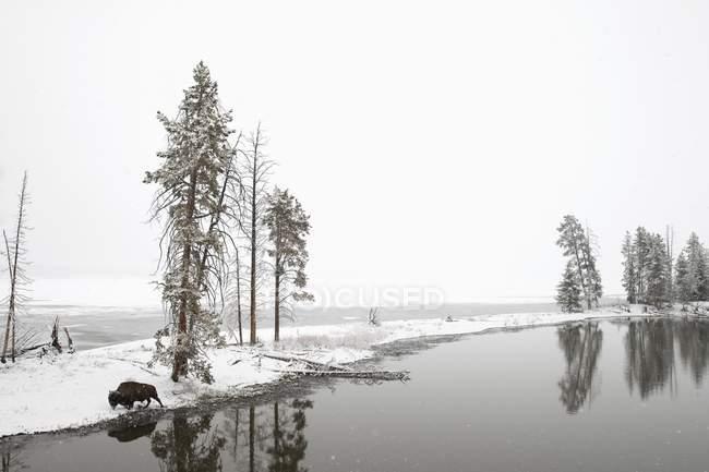 Зубри прогулянки біля озера — стокове фото