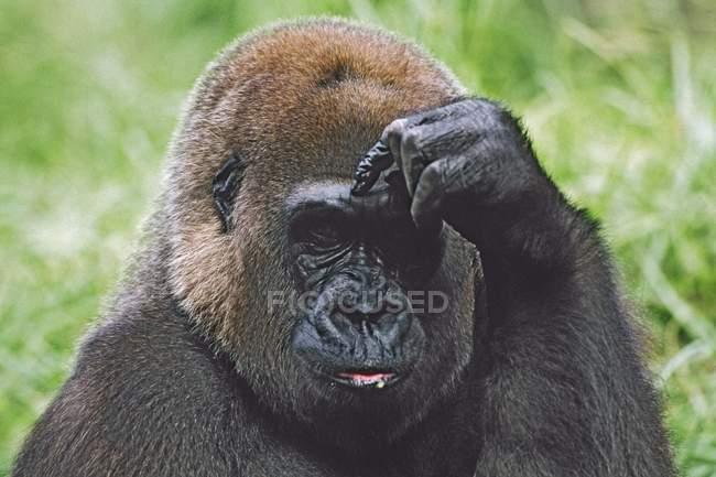 Gorilla occidentale Ritratto — Foto stock