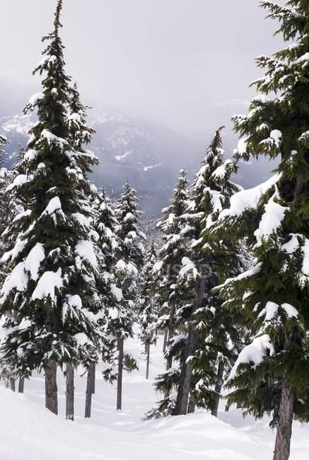 Árvores sob a neve — Fotografia de Stock